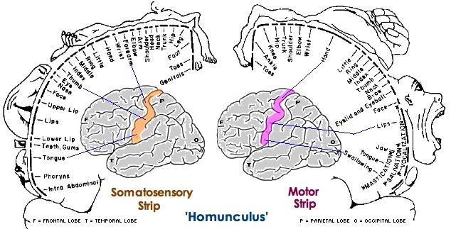 Brain Homunculus5