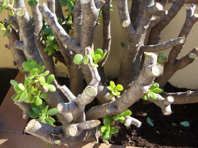Plantas para hombres crassula portulacea rbol de jade for Arboles para plantar en invierno