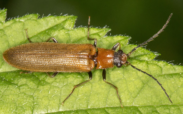 Click Beetle, Denticollis linearis.  Downe Bank, 14 June 2013.