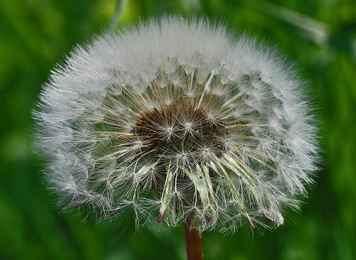 beautiful flowers dandelion flowers  pictures  meanings, Natural flower