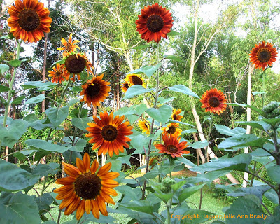 Several pretty Autumn Beauty sunflower blossoms