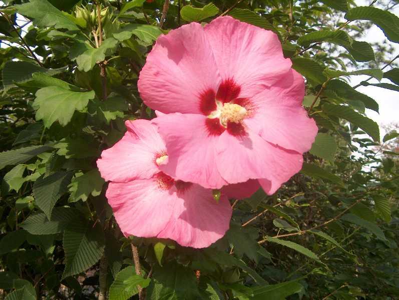 Piante e fiori ibisco da esterno for Fiori da esterno