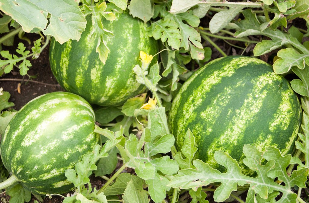 Plant Anatomy And Morphology Watermelons Florida