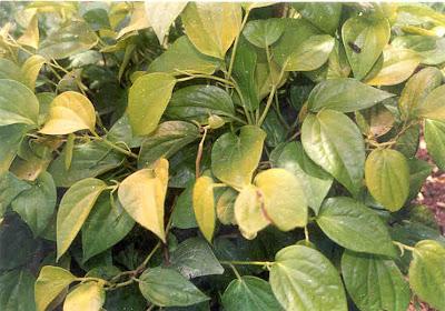 daun sirih penghilan bau badan