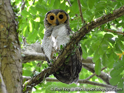 Spotted Wood Owl (Strix seloputo)