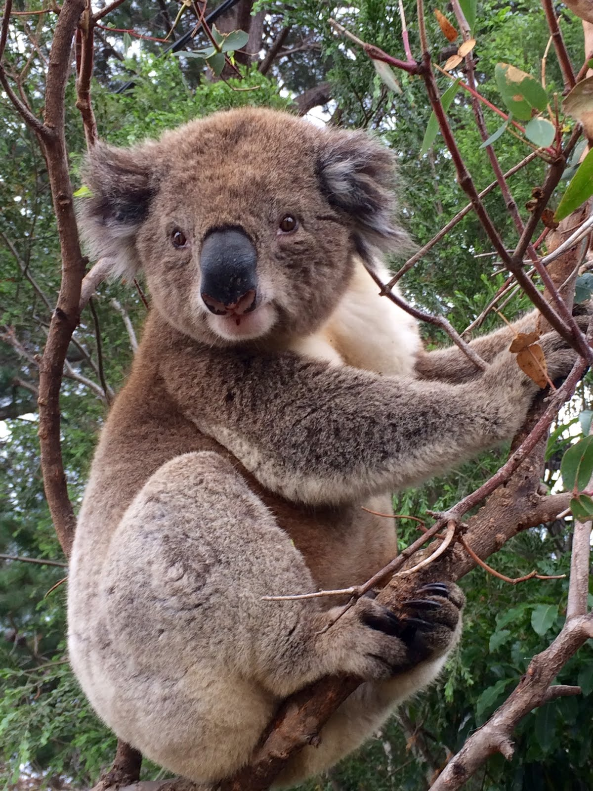 our permaculture life can you compost koala poo