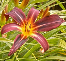 'Midnight Barbara Blossom' daylily