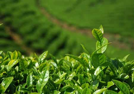 Drought affects Sri Lanka tea industry
