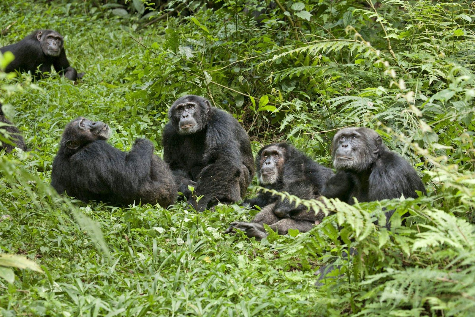 chimpanzee and animals Chimpanzee, an ape, genus pan, of the equatorial forests of central and w africa the common chimpanzee, pan troglodytes, lives n of the congo river full-grown animals of this species are.