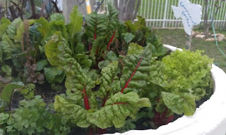 Swiss Chard, Cilantro and Lettuce