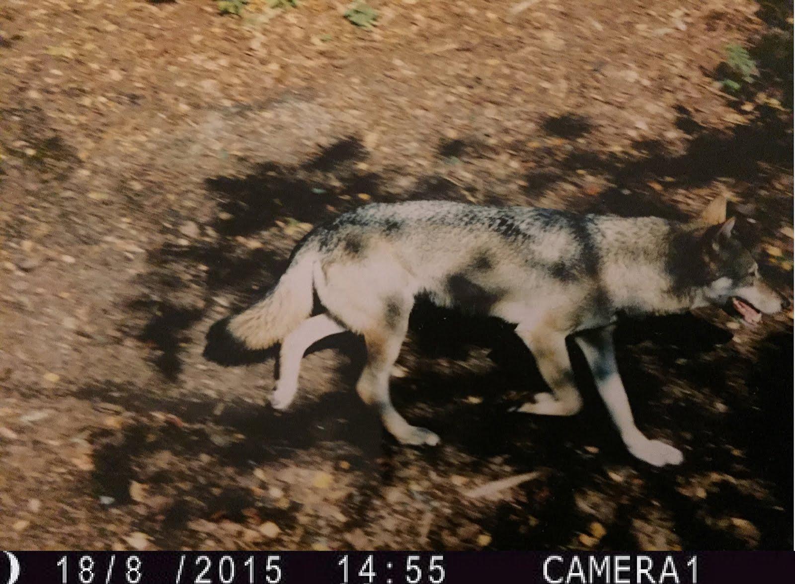 Nyt billede af dansk ulv fra august. 2015