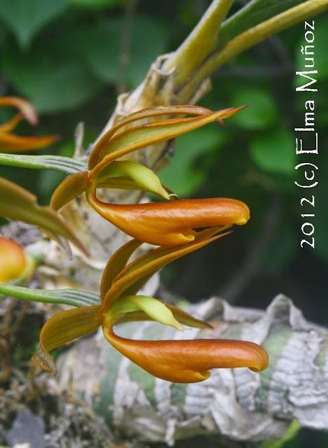 Mormodes sp. Fotos de orquideas peruanas