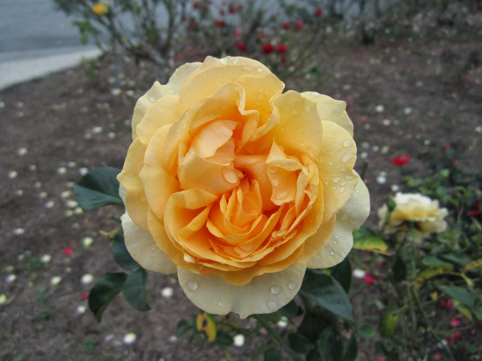 December Rose.