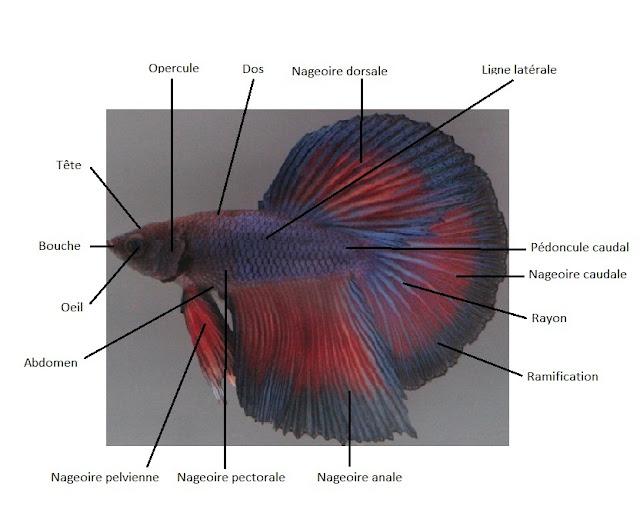 Anatomie du betta