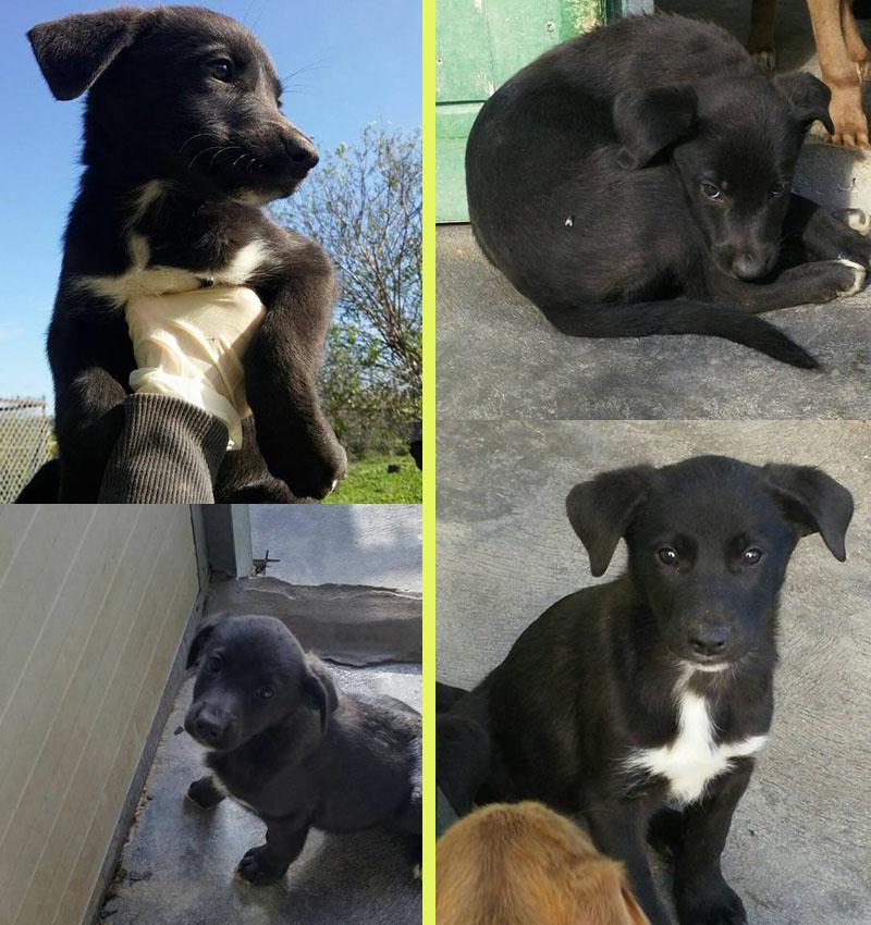 Adotta Un Cane A Siracusa Cuccioli 3 Mesi Incrocio Labrador Nero In