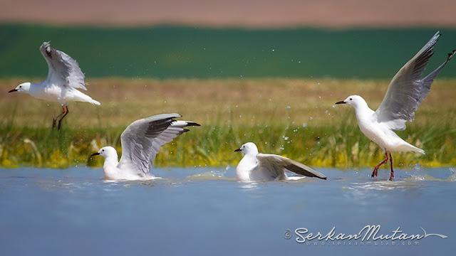 İnce gagalı martı, Larus genei, Slender-billed gull