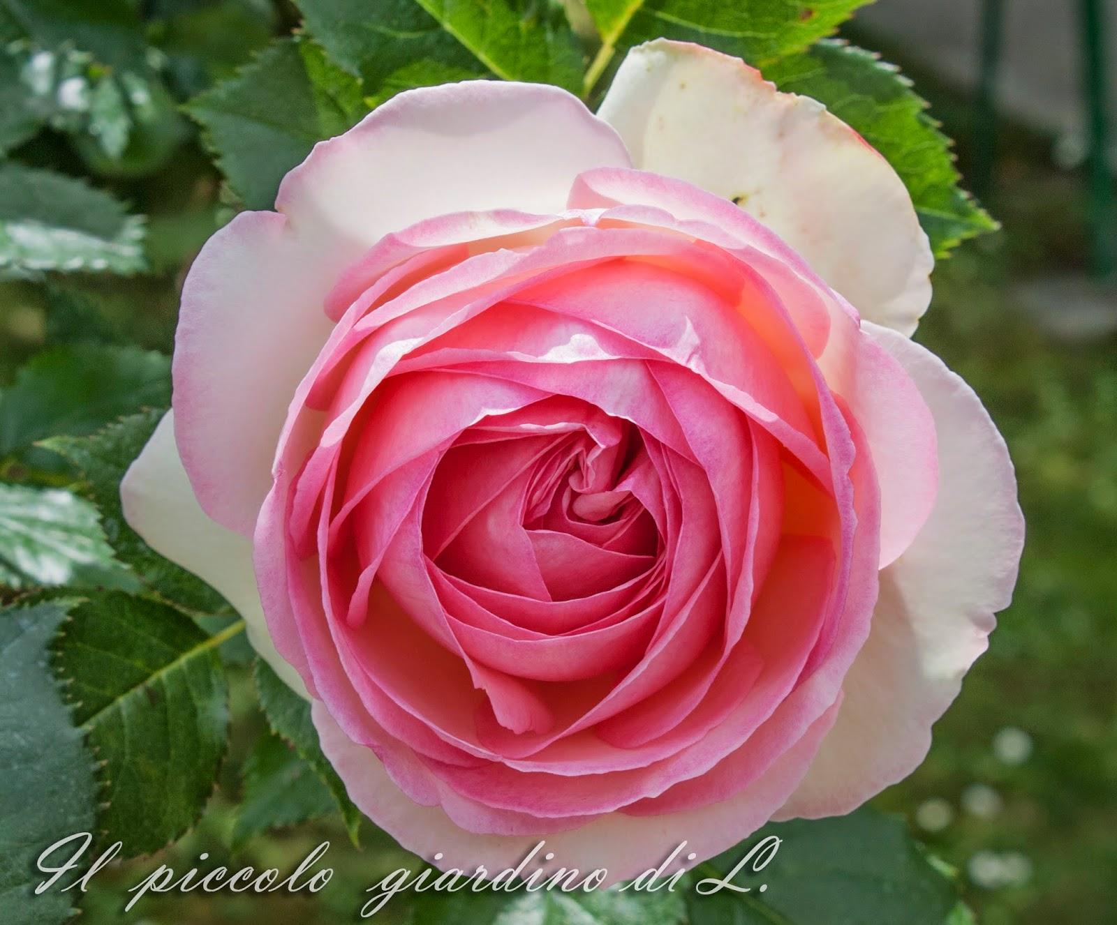 Il piccolo giardino di l la mia pierre de ronsard si for Pierre de ronsard rosa