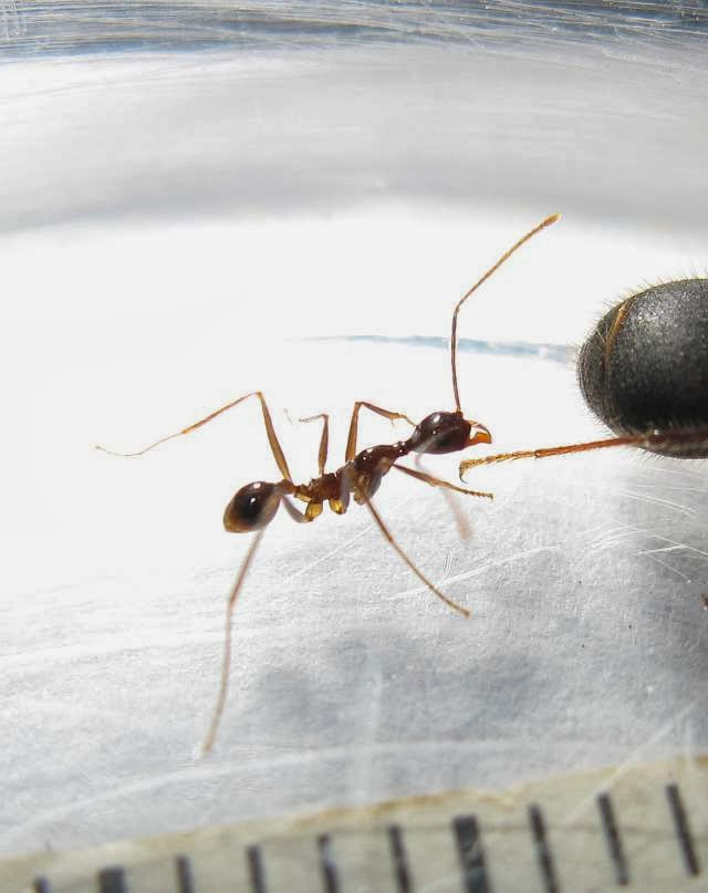 Minor worker of Pheidole longipes
