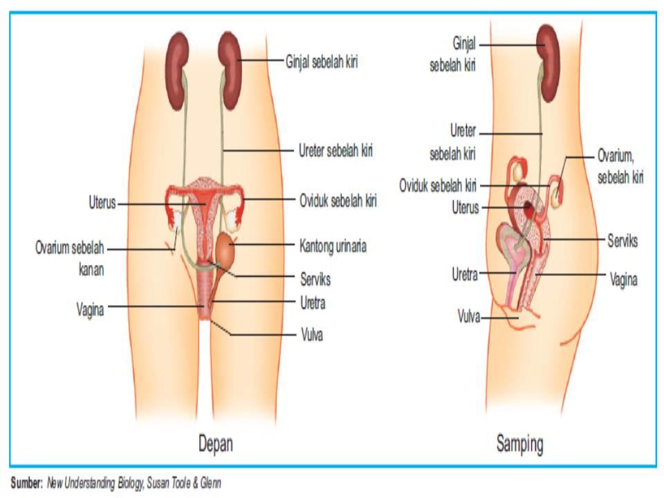 organ reproduksi manusia