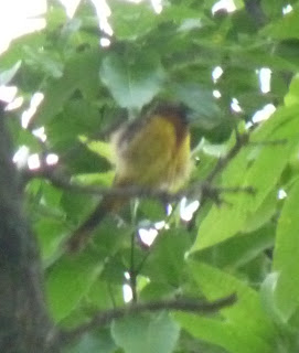 maybe a young orchard oriole
