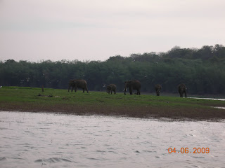 Elephants in the wild, Kabini