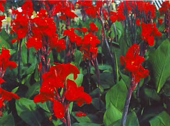 Канны цветы фото и уход: uhod-zdec.besaba.com/razdeli/foto/kanni-tsveti-foto-i-uhod.html