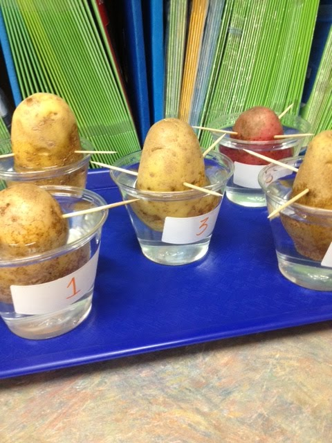 How to Grow a Potato in Water for a Science Project?