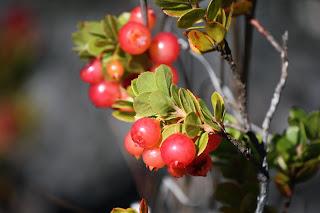 'Ohelo Berries