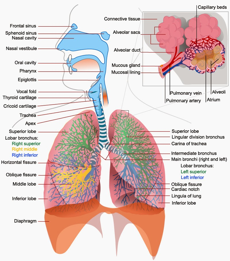 El Moderno Prometeo Respiration Pulmonary Ventilation And Exchange