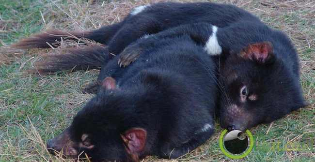 Tasmanian Devil (Setan Tasmania)
