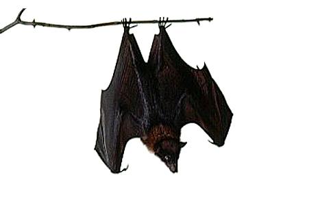 Vampire Bat  Vampire Bat Removal Control and Exclusion