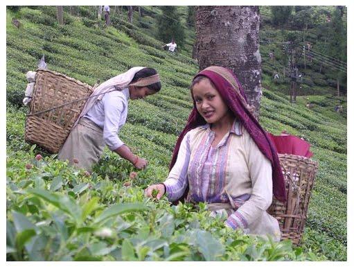Darjeeling Tea Garden Staff Get Salary Hike