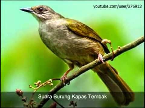 Foto Burung Gaok Jantan