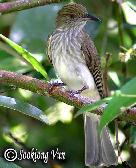Foto Burung Cucak Kencur Jantan