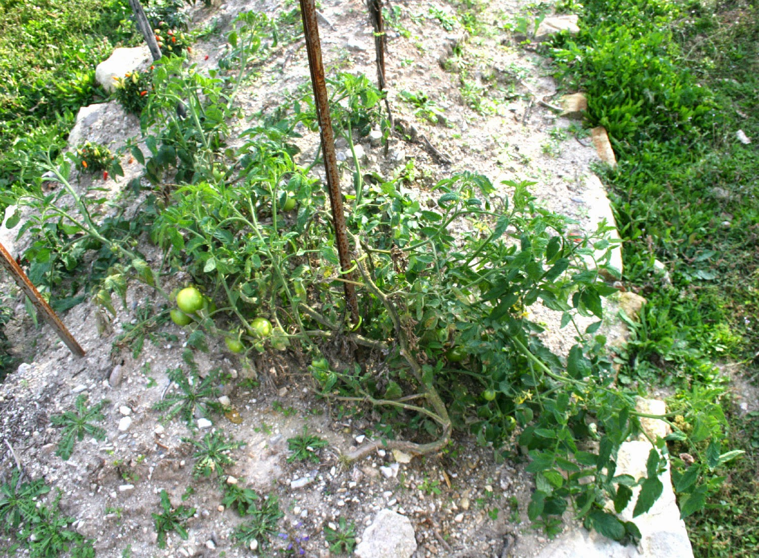 The monster tomato plant