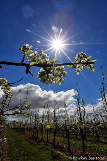 Spring weather, sun, clouds, blossom on fruit trees, Farndon Rd, Kohupatiki, Hastings photograph