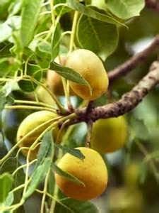 De marula of maroela is de gebruikelijke naam voor de olifantenboom. Olifantenfeestje - amarula - marula-likeur - marulaboom