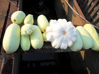 Урожай молодых кабачков и патиссонов