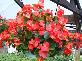Khasiat Tanaman Begonia untuk Kesehatan