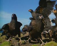 Caracara robando polluelos