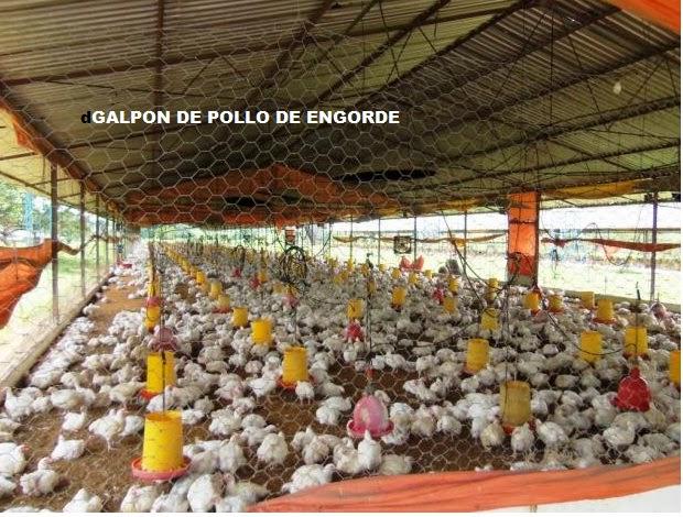 Curso pollo de engorde construcci n galpones for Construccion de galpones