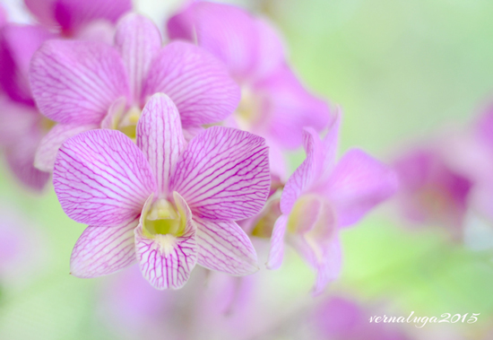 Dendrobium, Floral Photography by Verna Luga