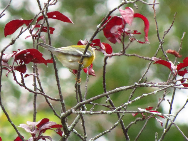 northern parula two