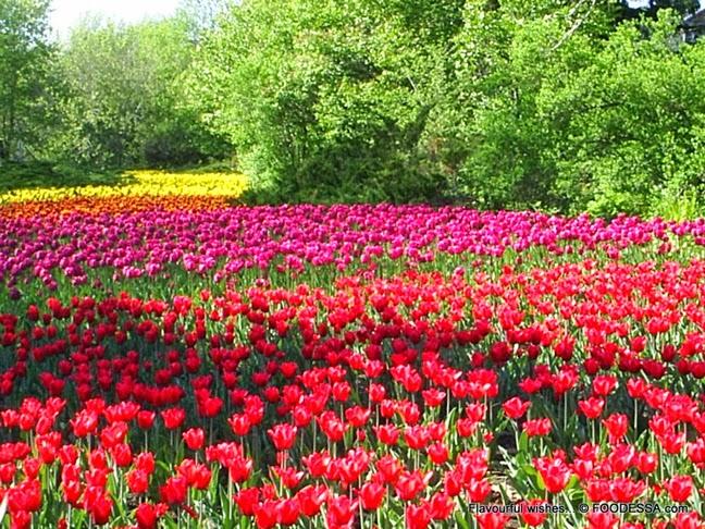 Foto Gambar Padang Bunga Tulip