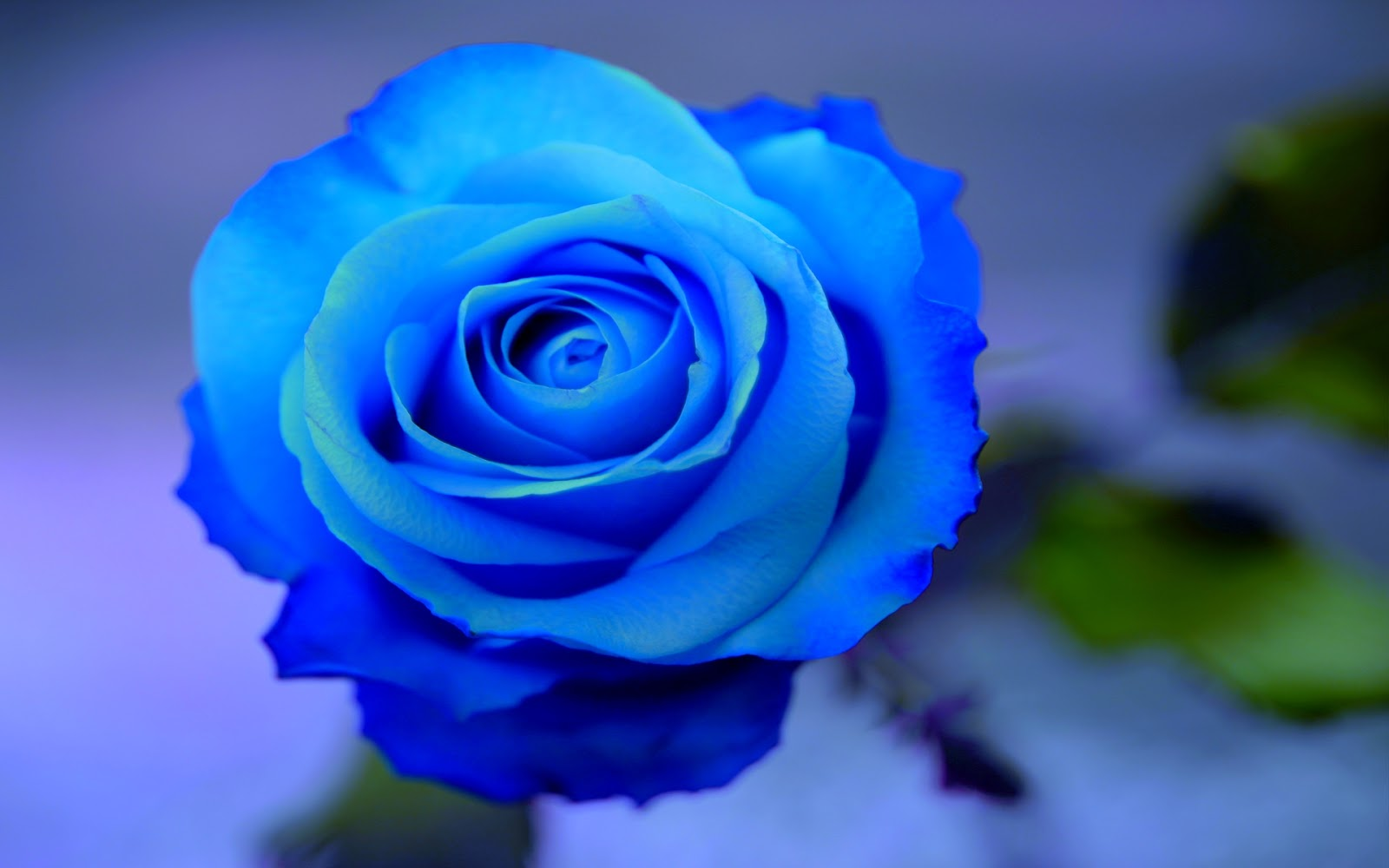 Blue Rose Flowers - Flower HD Wallpapers, Images, PIctures ...