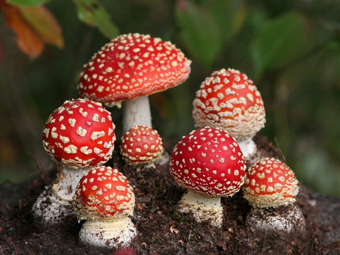 http://2.bp.blogspot.com/-x1Rkkv-mj4g/UG7mx7as0NI/AAAAAAAAApU/3Ajz83Nu9vg/s1600/1.white-dots-red-mushrooms-wallpaper-image-hd-picture.jpg