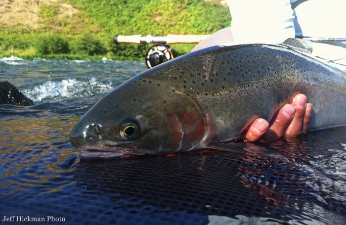 Gorge fly shop blog fishing report columbia river gorge for Columbia river fishing report