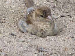 Mandi pasir untuk burung