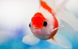 Fish Gold HD Wallpaper