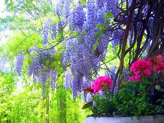 Flores del violeta al rosa